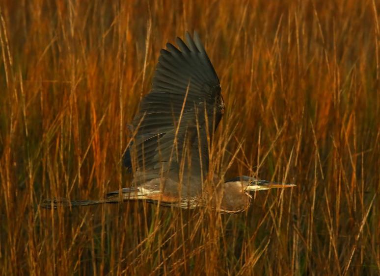 GBH Sunset Flight Through The Reeds