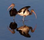 Juvie Ibis in the Marsh