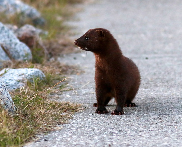 Mink on the Walkway