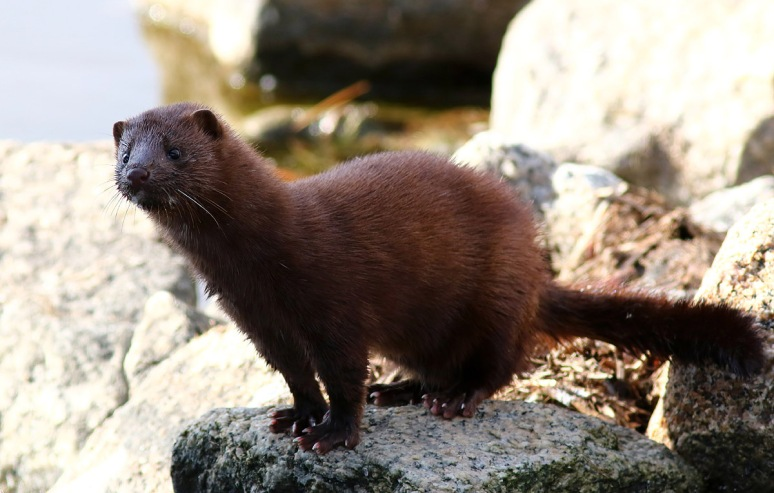 Mink Playing on the Rocks