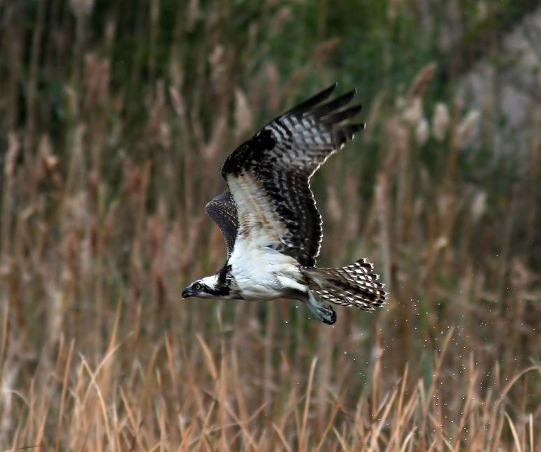 Osprey Shaking Off