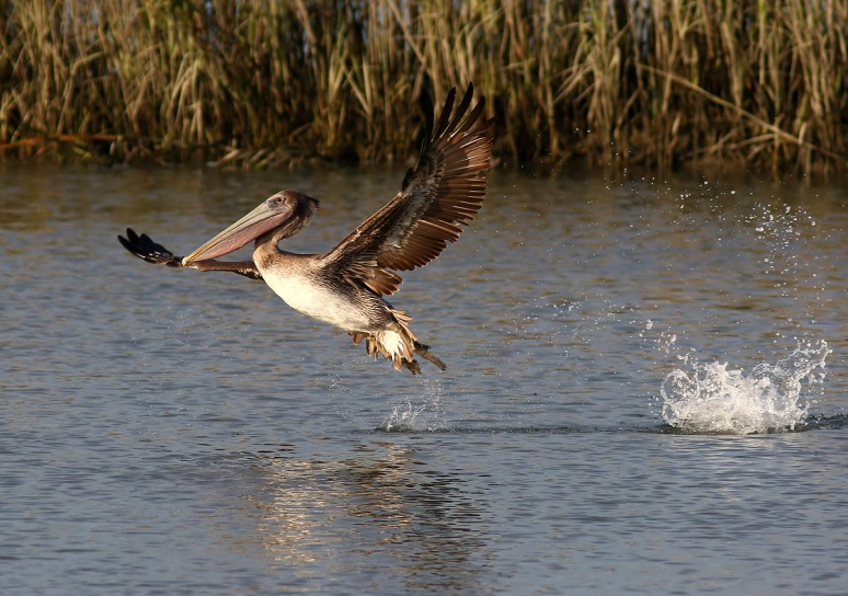 Pelican Splashing in Salt Marsh