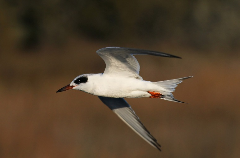 Terns at the Salt Marsh