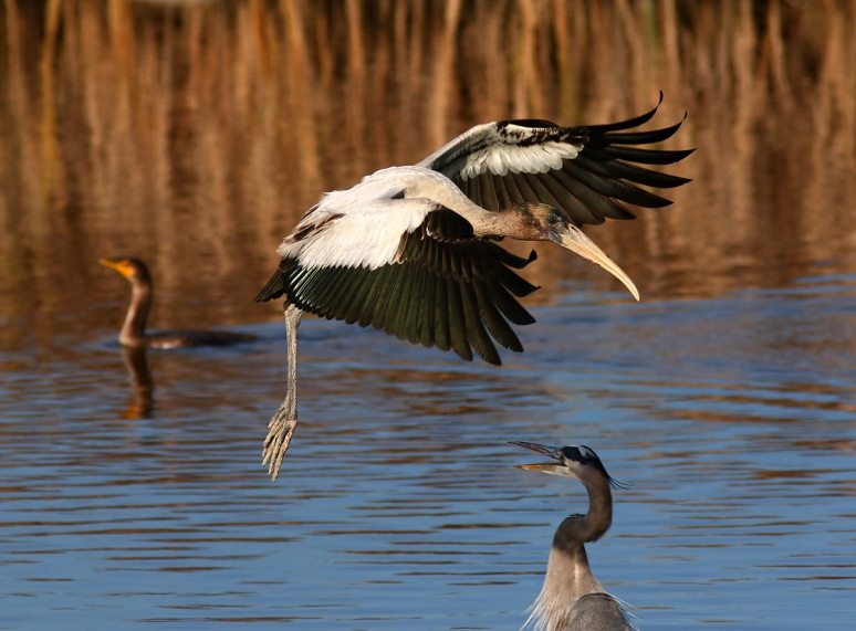 Young Wood Stork Incoming