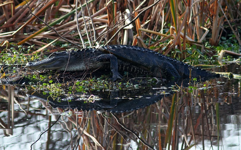 Alligator Floats Into The Swamp