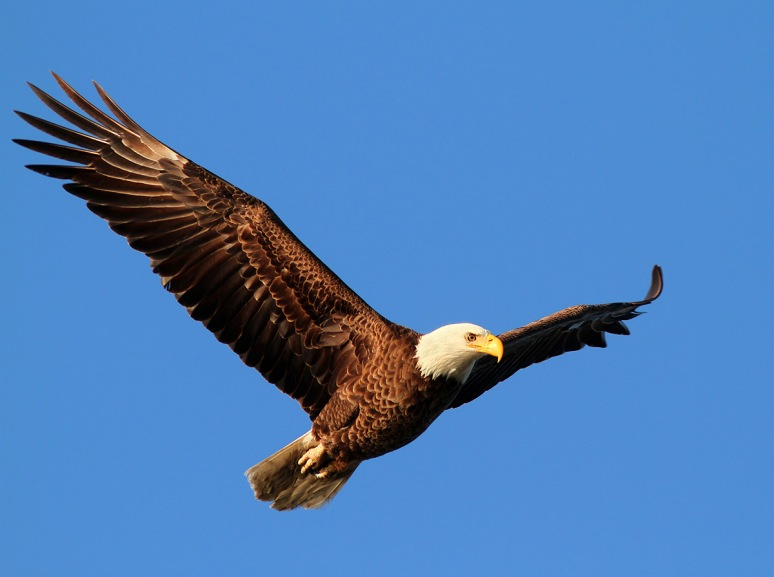 Bald Eagle Blue Sky Flight