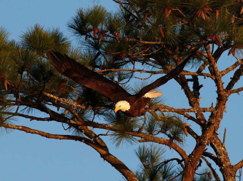 Bald Eagle Flight Across the Salt Marsh