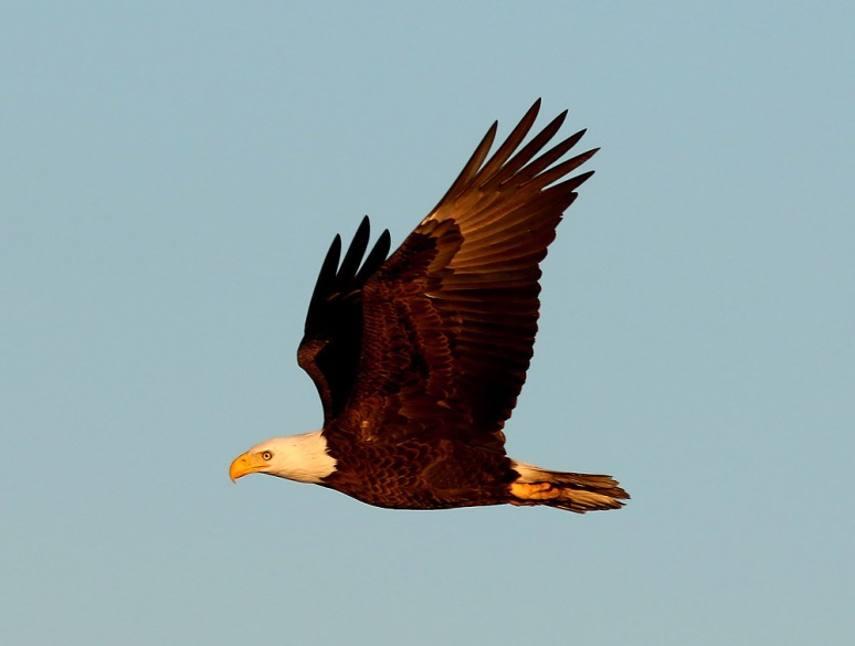 Bald Eagle Flight Across the Salt Marsh