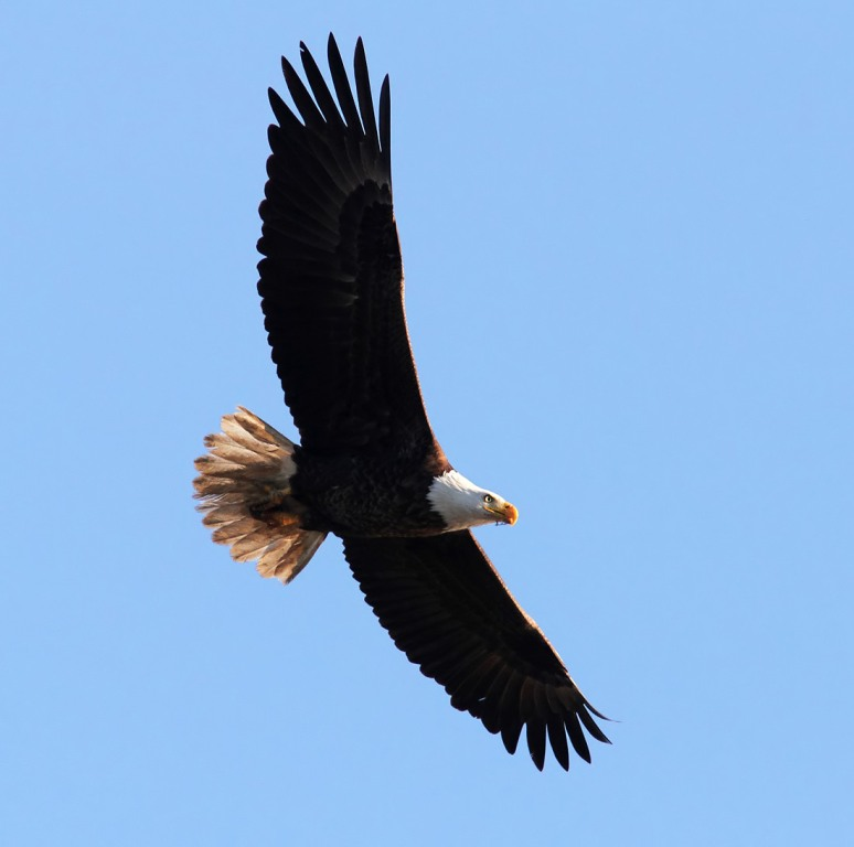 Bald Eagle Overhead Flight