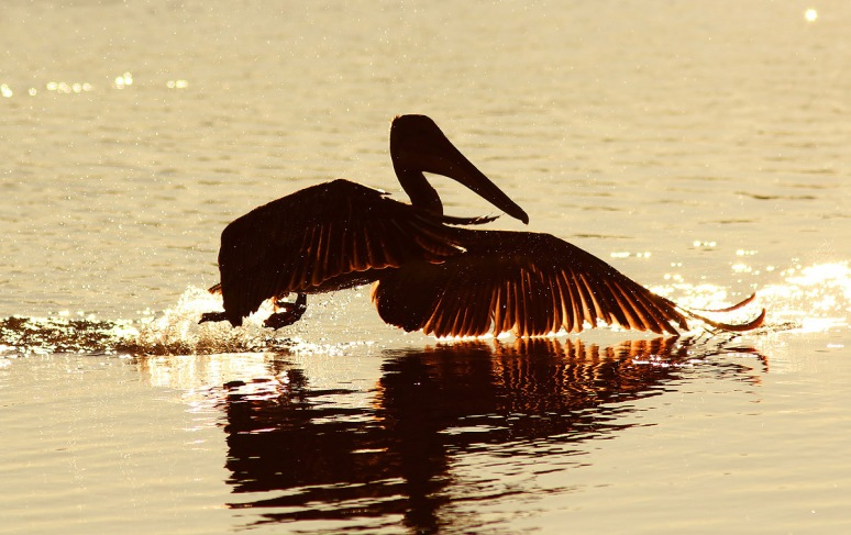 Brown Pelican Late Afternoon Silhouette
