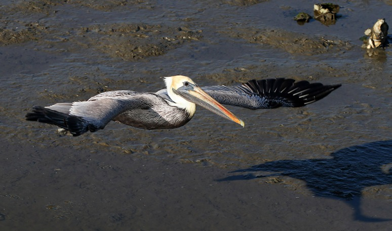 Brown Pelican Leaving the Salt Marsh