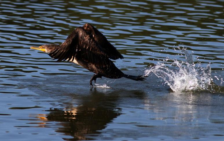 Cormorant Quick Takeoff