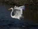 Egret Fight in the Salt Marsh