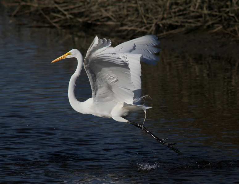 Egret Fight in the Salt Marsh