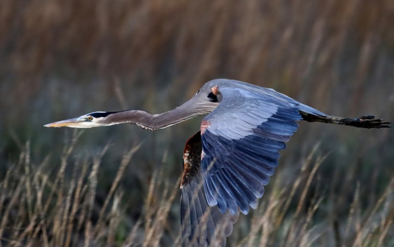 GBH Late Flight Across the Salt Marsh
