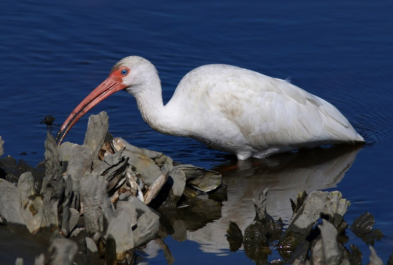 Ibis Catches Small Crab