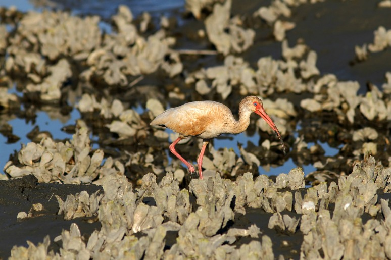 Juvenile Ibis in the Salt Marsh