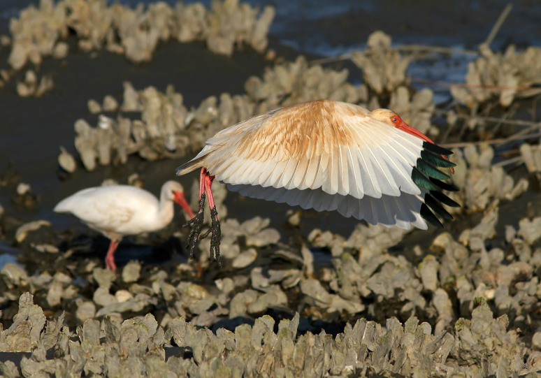 Juvenile Ibis in the Salt Marsh
