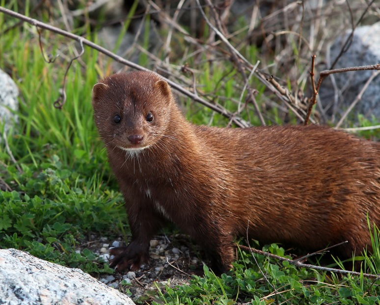 Mink Running Around the Salt Marsh