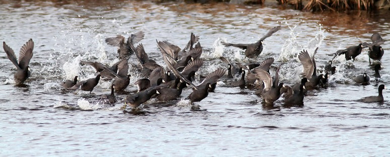 Mob of Coots