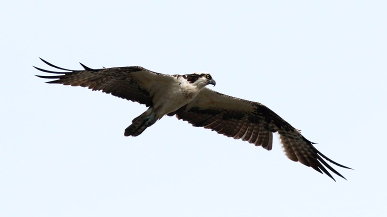 Osprey Flight Over the Salt Marsh