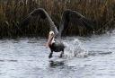 Pelican Blasts Off From the Salt Marsh