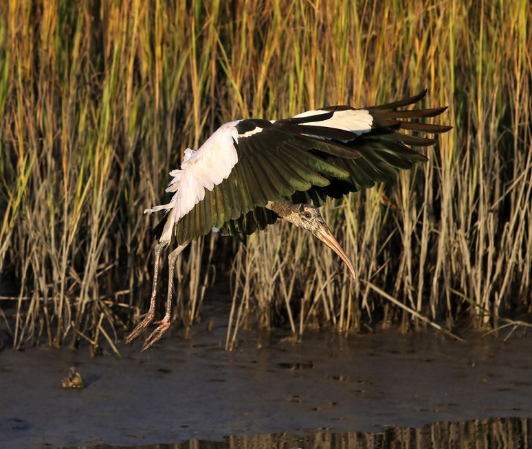 Wood Stork Evening Flight