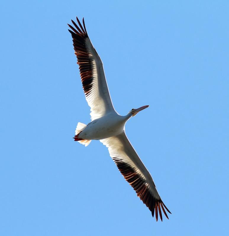 American White Pelican Flight