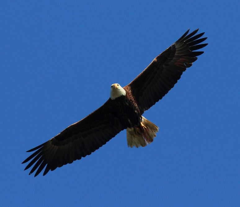 Bald Eagle Blue Sky Overhead Flight