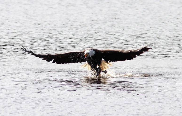 Bald Eagle Grabs Duck