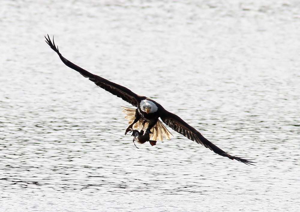 Bald Eagle Eating Duck Bald Eagle Grabs Duck 04 Jpg