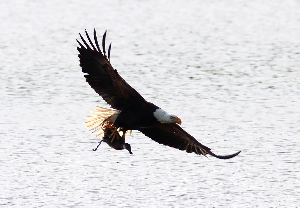 Bald Eagle Eating Duck Bald Eagle Grabs Duck 06 Jpg