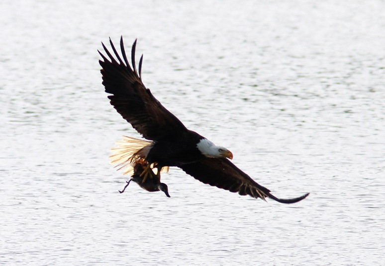 Bald Eagle Grabs Duck