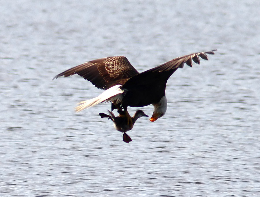Bald Eagle Eating Duck Bald Eagle Grabs Duck 08 Jpg