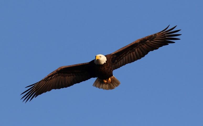 Bald Eagle Guarding The Area