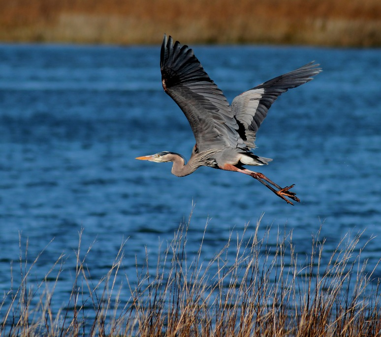 GBH Flies Up Out of the Reeds