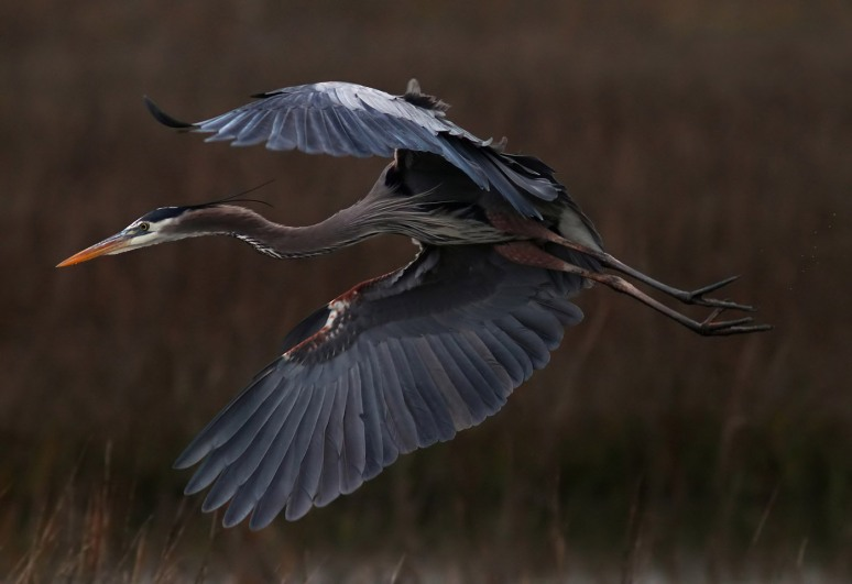 Great Blue Heron Flying Over Salt Marsh