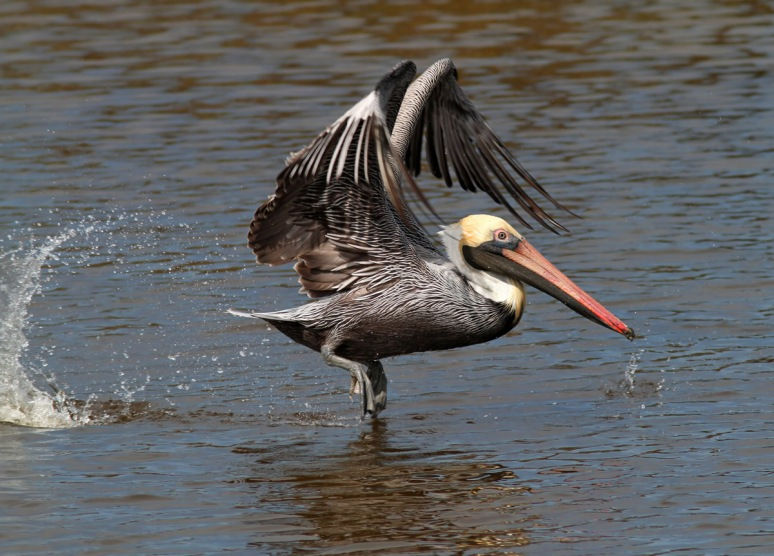 Pelican Hard At Work