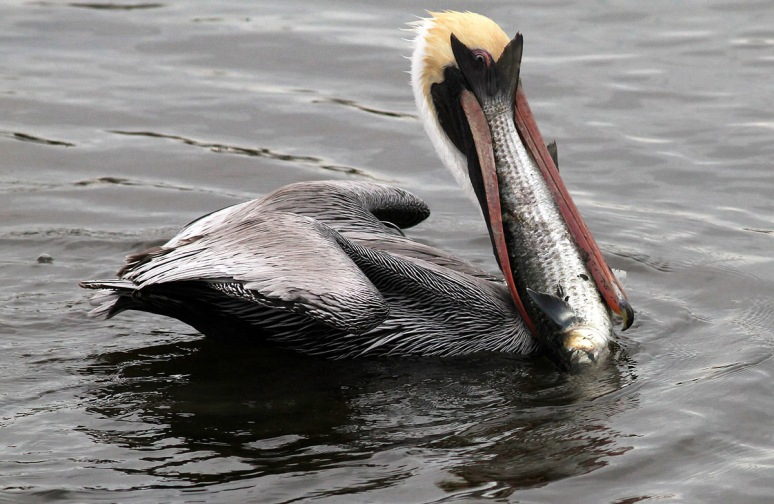 Pelican with Big Fish