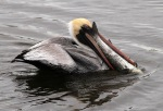 Pelican with BigFish