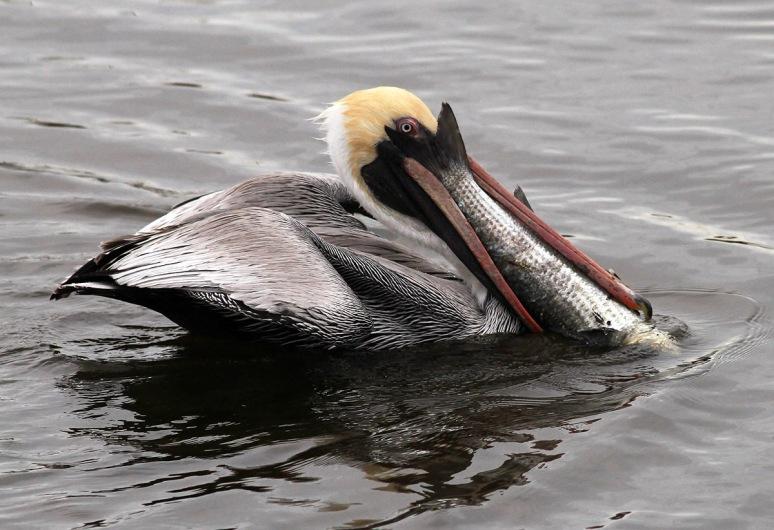 Pelican with Big Fish