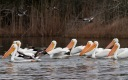Pelicans and Ducks