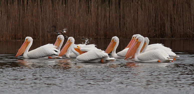 Pelicans and Ducks