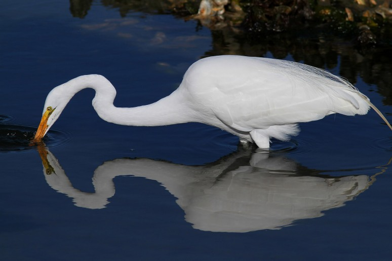 Reflective Egrets