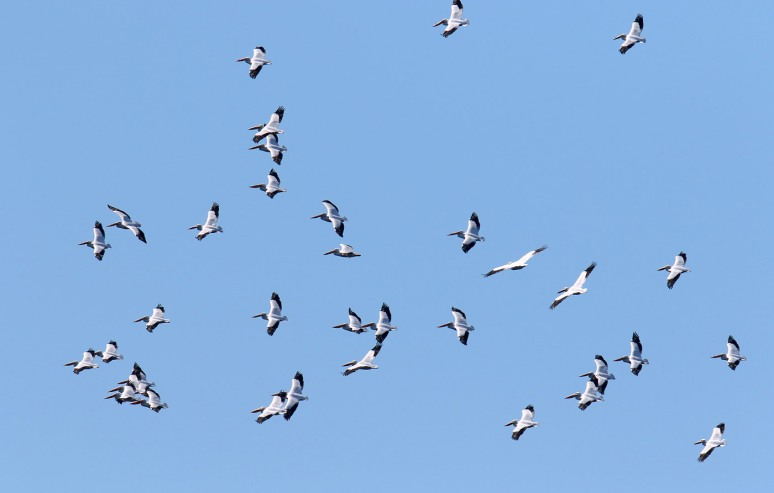 White Pelican Invasion