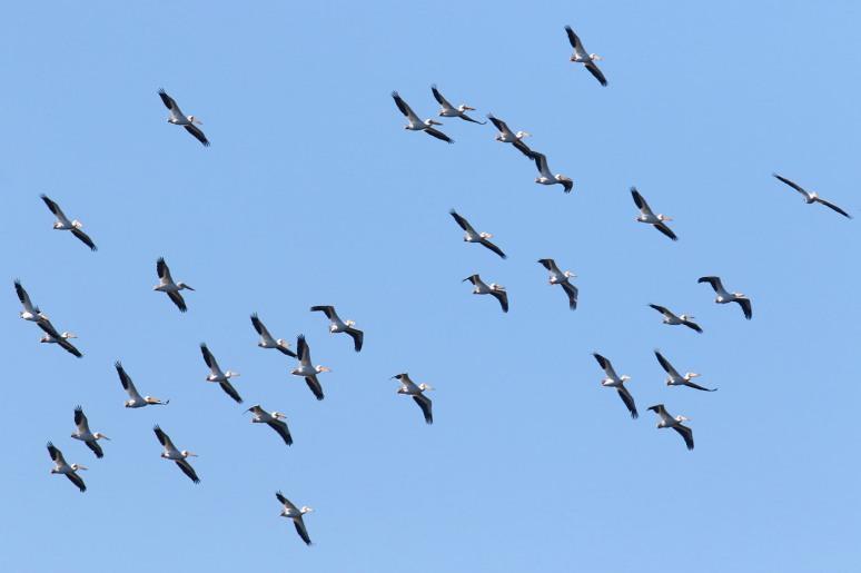 White Pelican Invasion