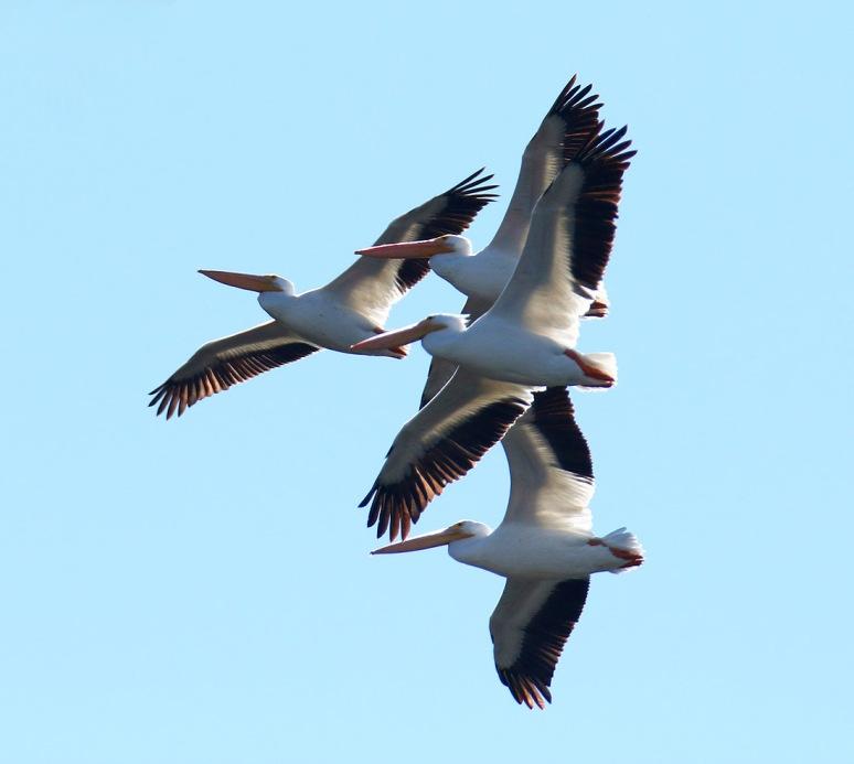 White Pelicans Flight Over the Salt Marsh