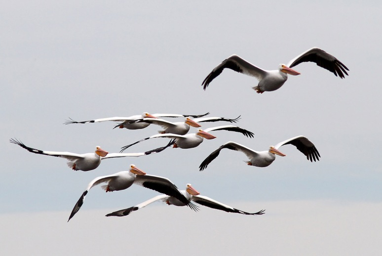 White Pelicans on the Move