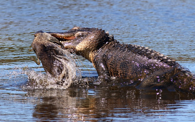 Alligator With Raccoon
