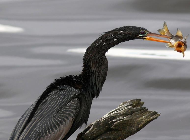 Anhinga Snags Fish